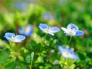 自信たっぷりに咲くオオイヌノフグリの花