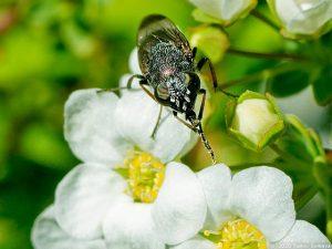 ユキヤナギの花にいたツマグロキンバエ