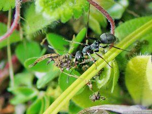 巣材運びに奮闘中のアリ