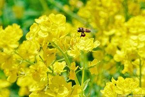 ミツバチは本気モード