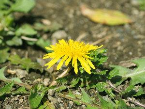 地面スレスレに開くタンポポの花