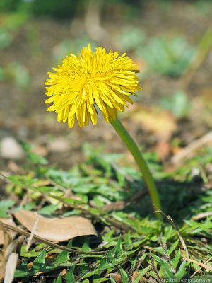 伸び上がった茎の先に咲くタンポポの花