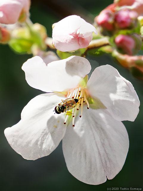 ソメイヨシノの花に止まるアブ