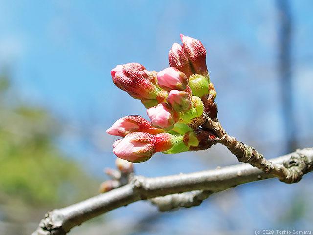ソメイヨシノ(桜)の蕾