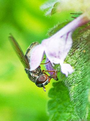 ヒメオドリコソウで吸蜜するアブ