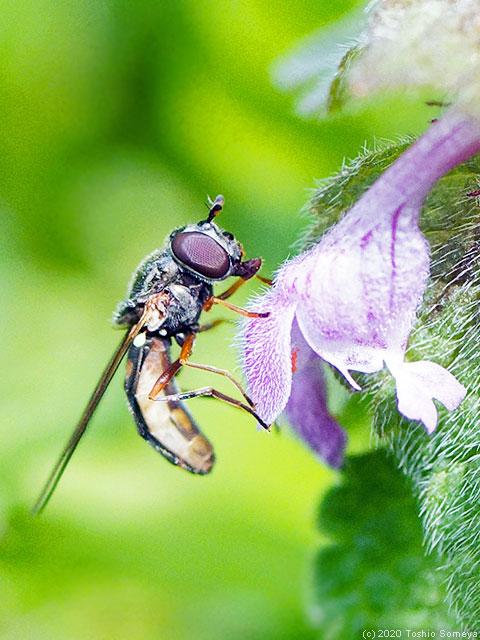 ヒメオドリコソウの花とアブのツーショット