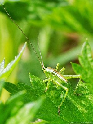 ヨモギの葉に止まるヤブキリ幼虫