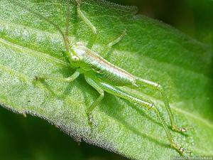 ジャンプ力抜群のヤブキリ幼虫