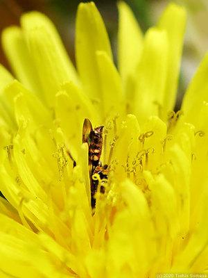 タンポポに花に潜り込むアブ