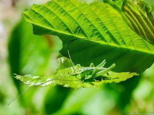 サクラの若葉を食べるヤブキリ幼虫