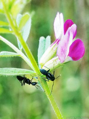 カラスノエンドウで吸蜜するアリ