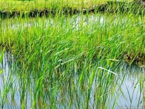 水辺の若緑いきいき