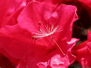 チクシベニの花にタンポポの綿毛が・・