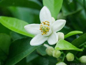 アマナツミカンの花