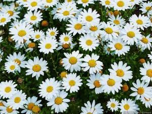 白い花が咲く頃
