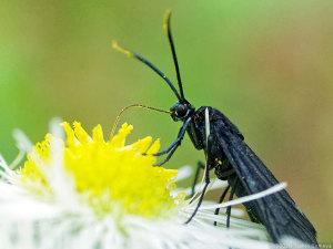 ヒメジョオンで吸蜜するスカシクロバ(蛾)