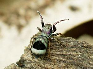 獲物を待ち受けるハエトリグモ