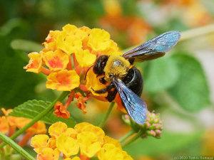 ランタナの花に来たクマバチ