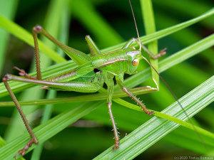 翅が生えかかったキリギリス幼虫