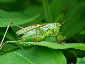 キリギリスのオス成虫