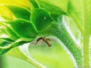 ヒマワリの花の裏に潜むハラビロカマキリ幼虫
