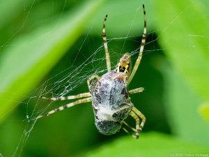 ジョロウグモの餌食になった甲虫