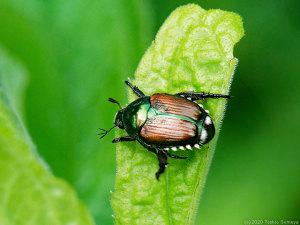 甲虫の夏来たる