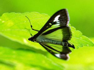 葉の裏で隠れんぼする蛾
