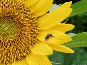 ヒマワリの花で食事中のハエ