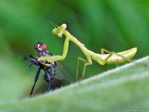 ハエを捕らえたハラビロカマキリ幼虫