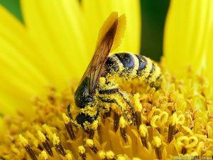 花粉まみれになったハチ
