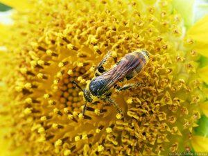 ヒマワリの花芯に張り付くハチ