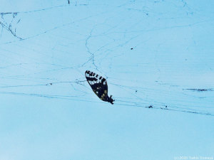 蜘蛛の網に掛かってしまったセミ