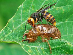 セミの抜け殻に止まったスズメバチ