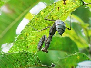 樹上に潜むハラビロカマキリ幼虫