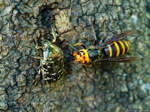 スズメバチも樹液にぞっこん