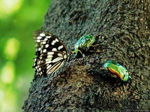樹液を吸うゴマダラチョウと甲虫