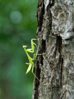 樹上のハラビロカマキリ幼虫