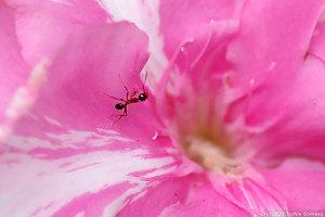 キョウチクトウの花に来たアリ