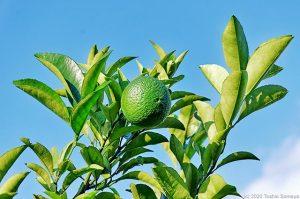 アマナツミカンの葉