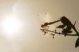 西に傾いた陽光を浴びるアキアカネ