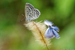 メスの後方で翅をブルブル