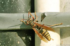 巣材収集中のアシナガバチ