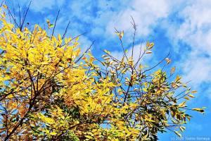 青空に映えるクヌギの黄葉