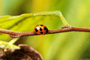 ナナホシテントウの成虫