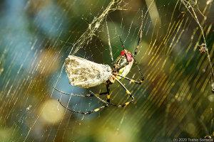 蜘蛛の網に掛かったセセリチョウ