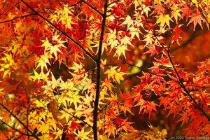 カエデの紅葉がピークに・・