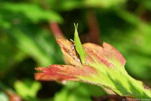 ヨモギの葉に止まっていたオンブバッタ幼虫
