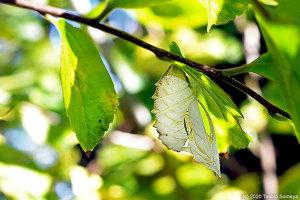 エノキの枝に残るアカボシゴマダラの蛹