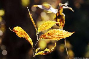 老いたエノキの葉輝く